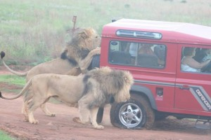 Lions checking out the spare