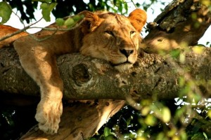 The Big 5 African safari animals includes the mighty lion