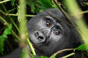 Gorilla at Bwindi inpenetrable forest, Uganda