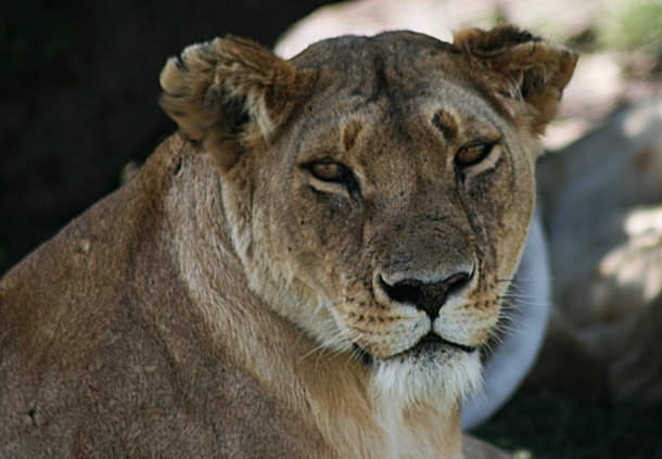 Lioness looking straight at the camera