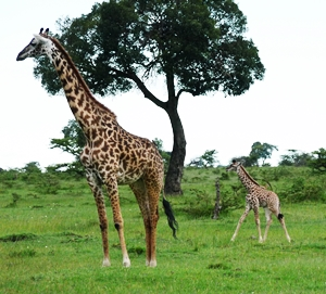 A baby giraffe with its mother in the Masai Mara